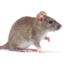 Дератизация в Волгограде - уничтожение мышей, крыс и других грызунов