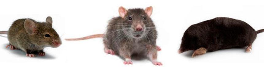 Дератизация в Волгограде. Мыши, крысы